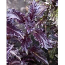 albahaca purpura rizada Purple Ruffles