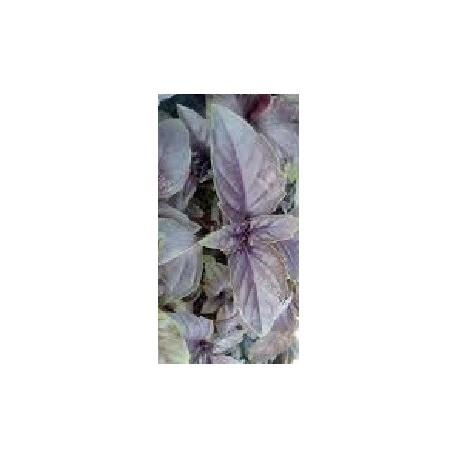 semillas de albahaca purpura rizada