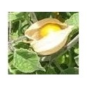 physalis peruviana (semillas ecologicas)