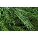 semillas ecológicas de eneldo (ANETUM GRAEVOLENS)