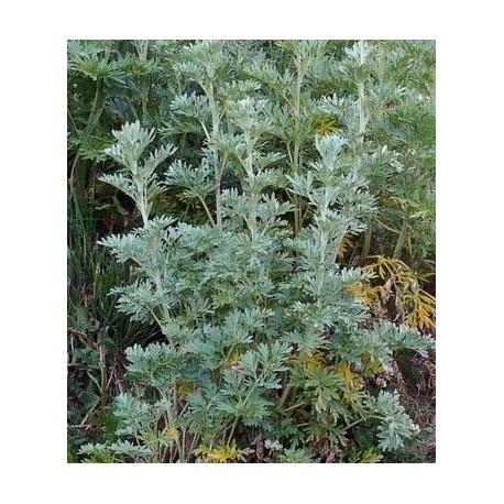 semillas ecológicas de anis
