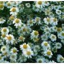 manzanilla (MATRICHARIA CHAMIMILLA) - semillas ecológicas