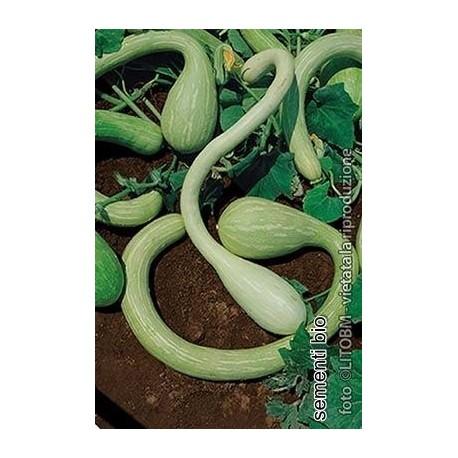 semillas ecológicas de calabaza tromboncino d'albenga
