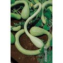 calabaza tromboncino d'albenga - semillas ecológicas