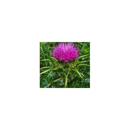 cardo mariano (silybum marianum) semillas ecologicas