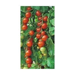 tomate gardeners delight (semillas ecológicas)
