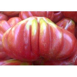 semillas de tomate tlacolula