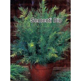 comino (cuminum cyminum) semillas ecologicas