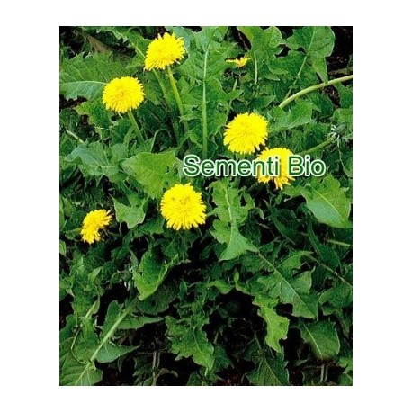 diente de león (Taraxacum officinale) semillas ecológicas