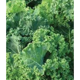 Kale pentland bring (semillas sin tratamiento)