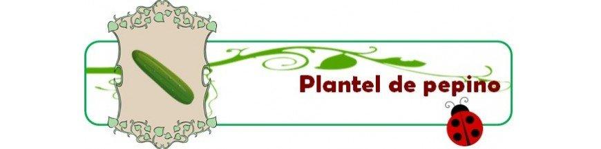 plantel de pepinos