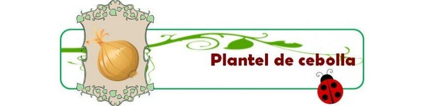 plantel de cebolla