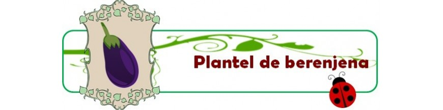 plantel de berenjena