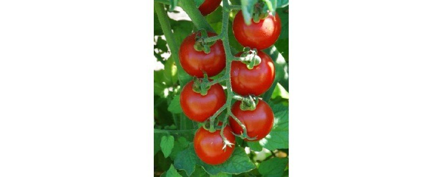 cultivo del tomate