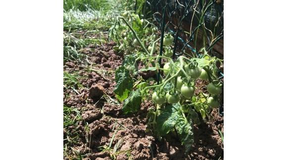 Cultivos asociados al tomate